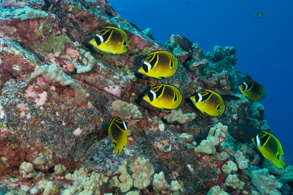 multi-image composition yellow fish swimming in coral