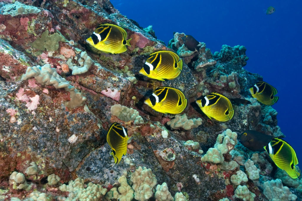multi-image composition Yellow butterfly fish swimming in coral